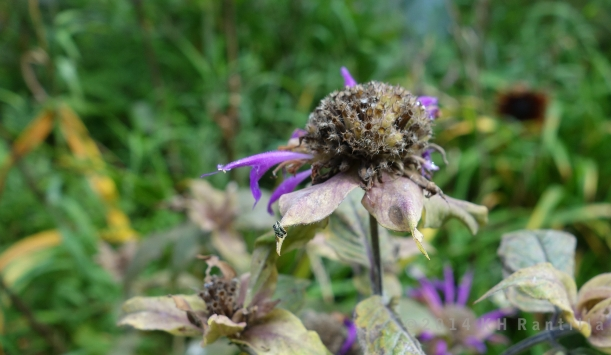Purple bee balm, almost gone by