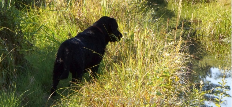 Horrie looking intently at something in the grass.
