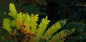 One of many varieties of ferns there, this one in the leafy tunnel of trees at the beginning of the road.