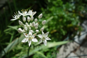 Starry garlic chive flowers, echoing early spring bulbs