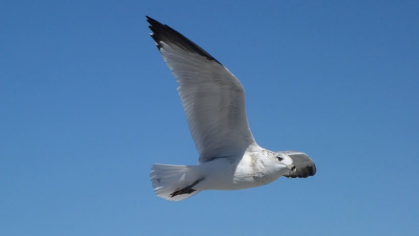 An immature gull cruising by, on the alert.